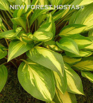 Hosta 'Cherry Berry' - New Forest Hostas & Hemerocallis