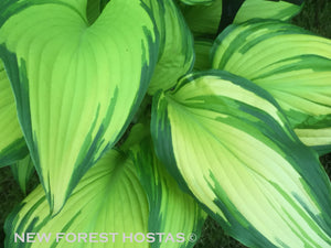Hosta 'On Stage' - New Forest Hostas & Hemerocallis