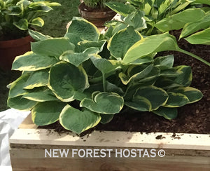 Hosta 'Christmas Tree' - New Forest Hostas & Hemerocallis