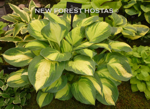 Hosta 'Color Festival' - New Forest Hostas & Hemerocallis