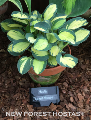 Hosta 'Desert Mouse' - New Forest Hostas & Hemerocallis