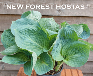 Hosta 'Dixie Cups' - New Forest Hostas & Hemerocallis