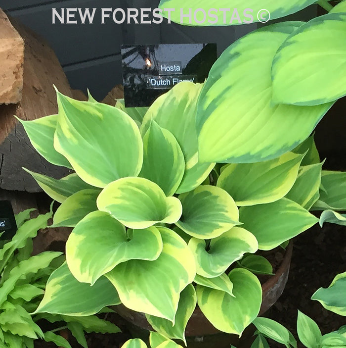 Hosta 'Dutch Flame'