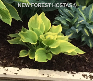 Hosta 'Dutch Flame' - New Forest Hostas & Hemerocallis