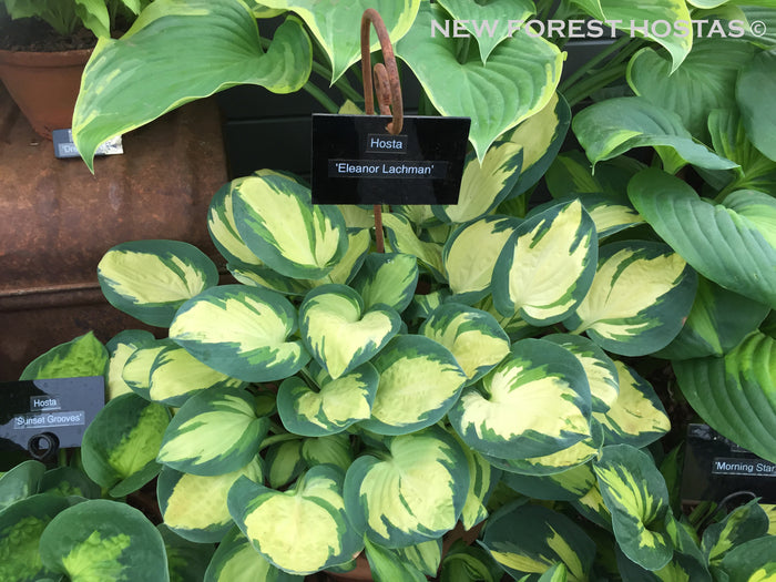 Hosta 'Eleanor Lachman'