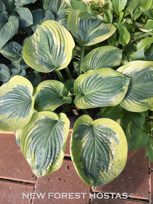 Hosta 'Essence Of Sunset' - New Forest Hostas & Hemerocallis