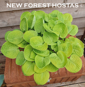 Hosta 'Eye Catcher' - New Forest Hostas & Hemerocallis