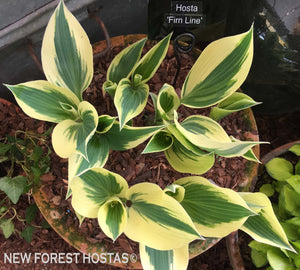 Hosta 'Firn Line' - New Forest Hostas & Hemerocallis