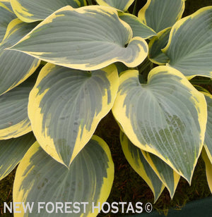 Hosta 'First Frost' - New Forest Hostas & Hemerocallis