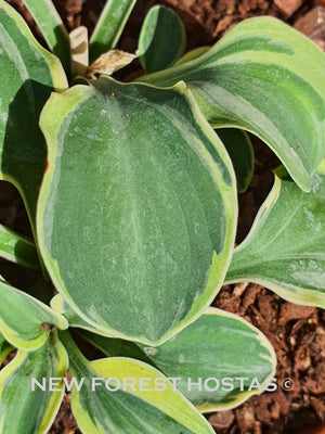 Hosta 'Frosted Mouse Ears' - New Forest Hostas & Hemerocallis