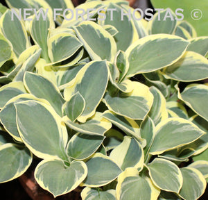 Hosta 'Funny Mouse' - New Forest Hostas & Hemerocallis