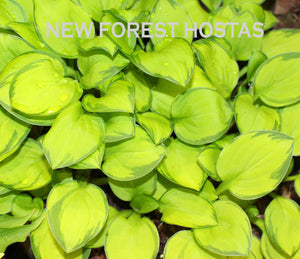 Hosta 'Green with Envy' - New Forest Hostas & Hemerocallis