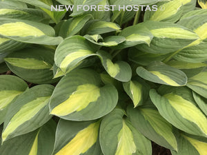 Hosta 'Gypsy Rose' - New Forest Hostas & Hemerocallis