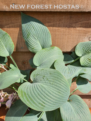 Hosta 'Halcyon' - New Forest Hostas & Hemerocallis