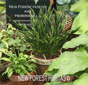 Hosta 'Hands Up' - New Forest Hostas & Hemerocallis