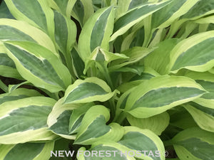 Hosta 'Hanky Panky' - New Forest Hostas & Hemerocallis