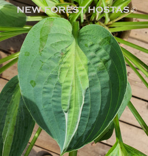 Hosta 'Hot Kiss' - New Forest Hostas & Hemerocallis