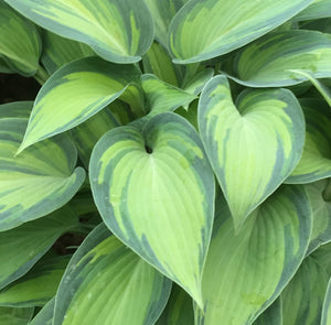 Hosta 'June' - New Forest Hostas & Hemerocallis