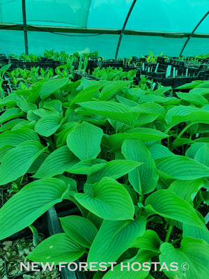 Hosta 'Kingsize' - New Forest Hostas & Hemerocallis