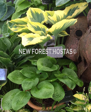 Hosta 'Deep Pockets' - New Forest Hostas & Hemerocallis