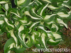 Hosta 'Little Caesar' - New Forest Hostas & Hemerocallis