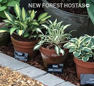 Hosta 'Little Treasure' - New Forest Hostas & Hemerocallis