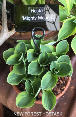 Hosta 'Mighty Mouse' - New Forest Hostas & Hemerocallis