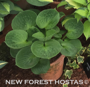 Hosta 'Monster Ears' - New Forest Hostas & Hemerocallis