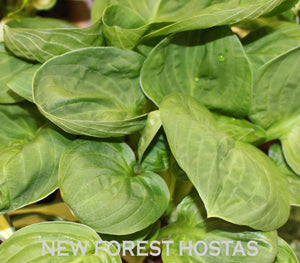 Hosta 'Nippers' - New Forest Hostas & Hemerocallis