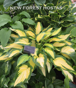 Hosta 'Orange Marmalade' - New Forest Hostas & Hemerocallis