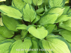 Hosta 'Paradise Island' - New Forest Hostas & Hemerocallis
