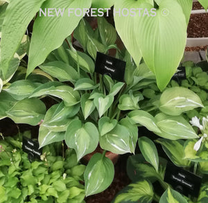 Hosta 'Playmate' - New Forest Hostas & Hemerocallis