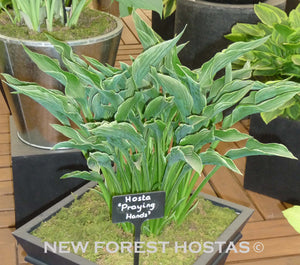 Hosta 'Praying Hands' x 3 - New Forest Hostas & Hemerocallis