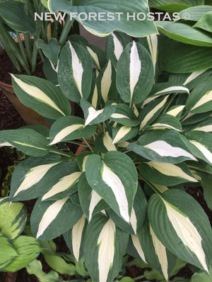 Hosta 'Risky Business' - New Forest Hostas & Hemerocallis