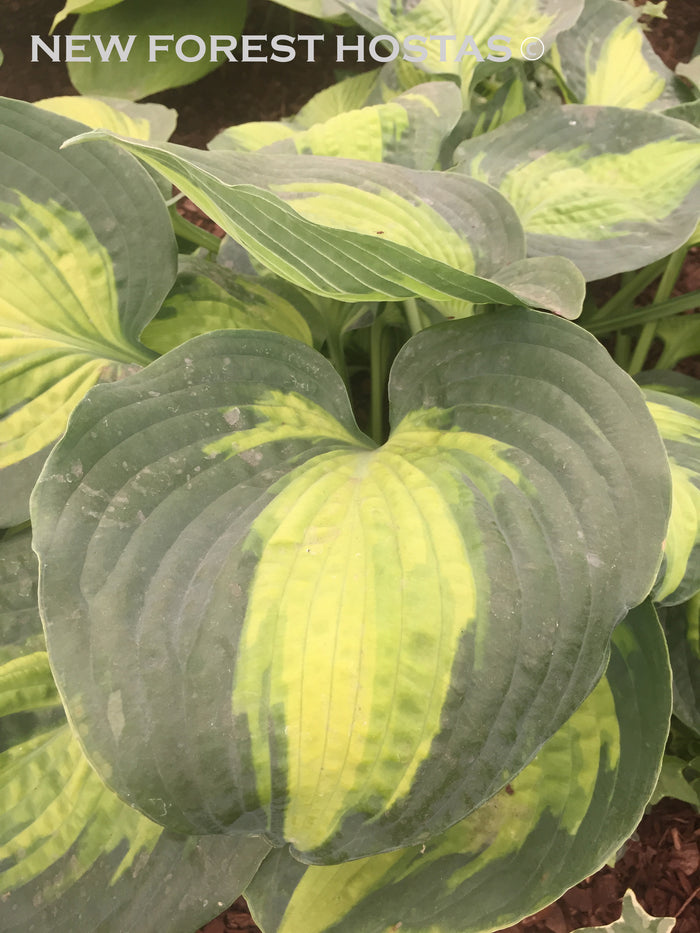Hosta 'Saint Paul'