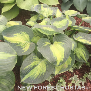 Hosta 'Saint Paul' - New Forest Hostas & Hemerocallis