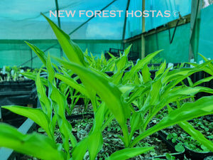 Hosta 'Sizzle' - New Forest Hostas & Hemerocallis