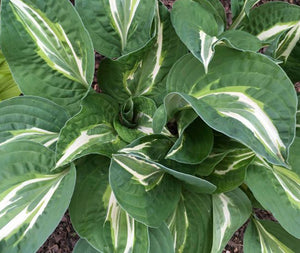 Hosta 'Snake Eyes' x 3 - New Forest Hostas & Hemerocallis