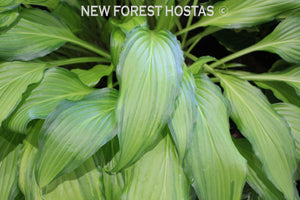 Hosta 'Spritzer' - New Forest Hostas & Hemerocallis