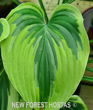 Hosta 'Stag's Leap' - New Forest Hostas & Hemerocallis