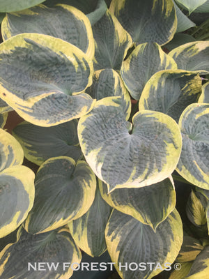 Hosta 'Sugar Daddy' - New Forest Hostas & Hemerocallis