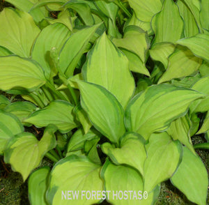 Hosta 'Twist Of Lime' - New Forest Hostas & Hemerocallis