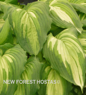 Hosta 'War Paint'