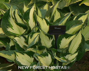 Hosta 'Whirlwind' - New Forest Hostas & Hemerocallis