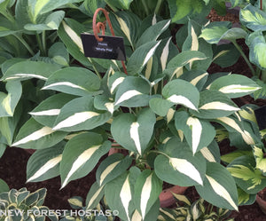 Hosta 'Whirly Pop' - New Forest Hostas & Hemerocallis