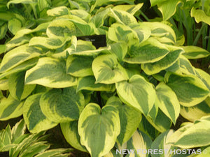 Hosta 'Wide Brim' - New Forest Hostas & Hemerocallis