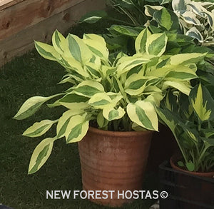 Hosta 'Yellow Polka Dot Bikini' - New Forest Hostas & Hemerocallis