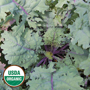 Kale, Red Russian (Organic) Seeds