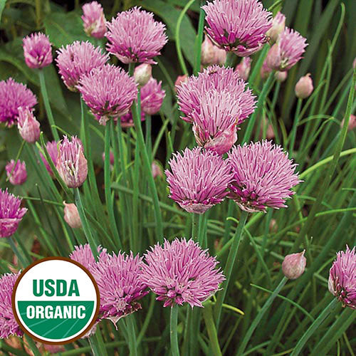 Chives (Organic) Seeds