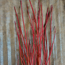 Load image into Gallery viewer, 4' Cardinal Dogwood Bundle